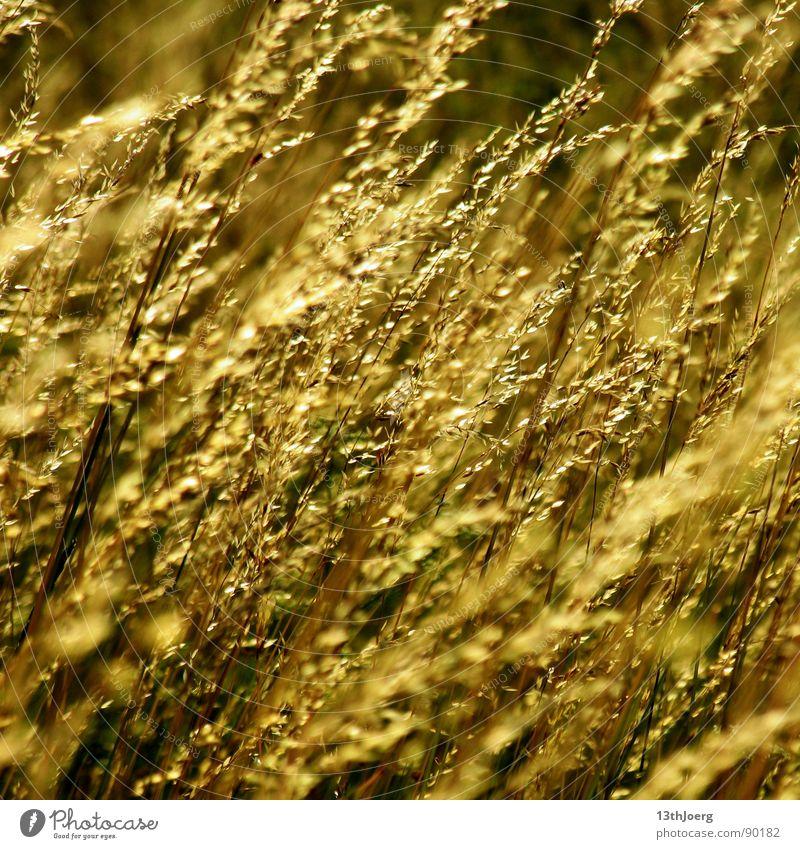 Feldgräßer Landwirtschaft Sommer gelb Biologie Wiese schön Außenaufnahme Getreide Ernte Pflanze Gras Natur Appetit & Hunger
