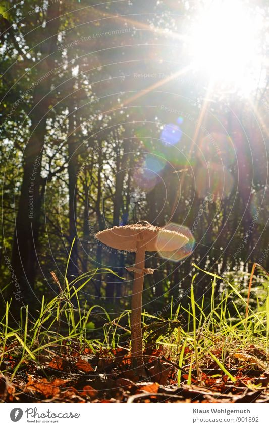 Sonnenanbeter Lebensmittel Speisepilz Pilz Umwelt Natur Herbst Baum Gras Wald stehen warten blau braun grün Parasolpilz Riesenschirm Farbfoto Außenaufnahme