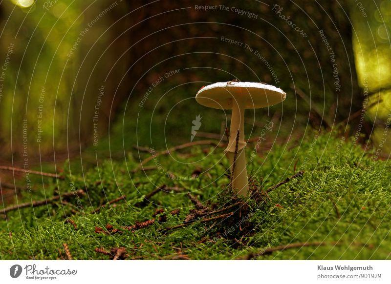 Ein Männlein steht im Walde Natur Pflanze schön grün weiß Baum Tier Umwelt Herbst braun Fliege Moos Pilz