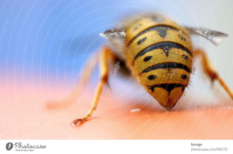 Ihr könnt mich alle ma... Wespen Hinterteil Insekt gefährlich Insektenstich Färbung stechen töten Gliederfüßer wespenkönigin Fuß Beine wespenstich fliegen
