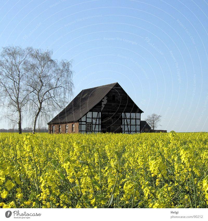 altes Fachwerkhaus mit Bäumen hinter einem blühenden Rapsfeld Haus Umwelt Natur Landschaft Pflanze Wolkenloser Himmel Frühling Baum Blume Blüte Nutzpflanze Feld