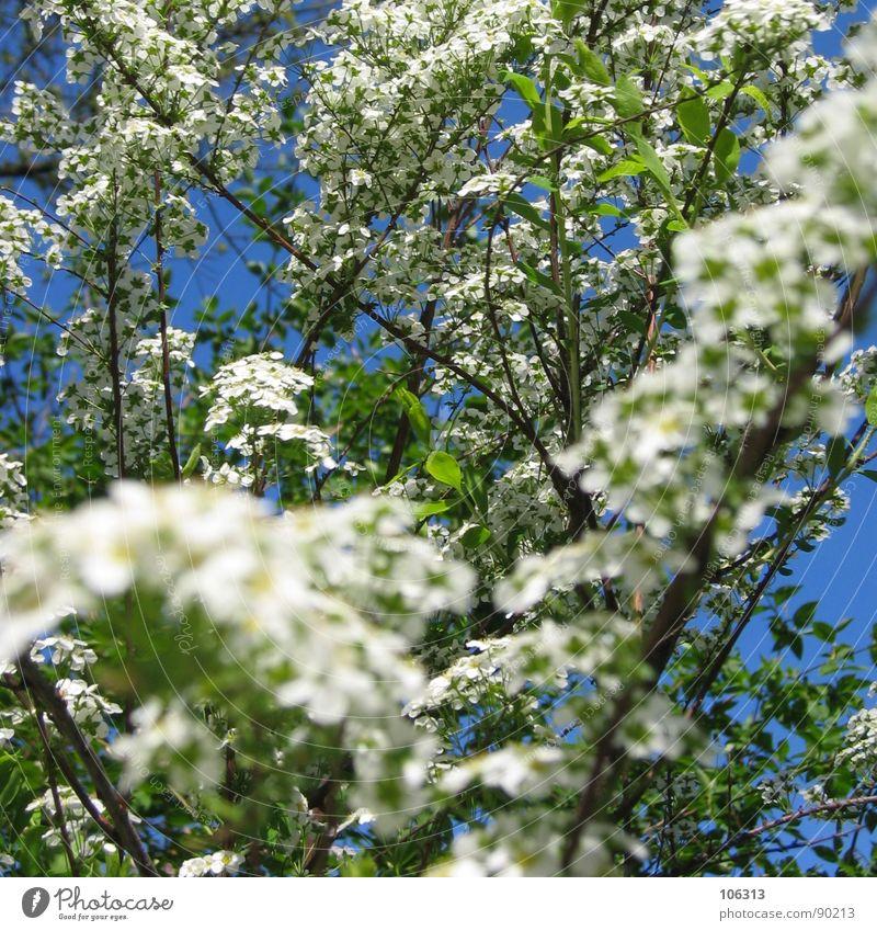 BLÜTENTERROR Blume Blüte weiß Baum Frühling organisch Pflanze Geäst Wachstum austreiben sprießen Park Wolken grün Frühlingsgefühle Erholung mehrere