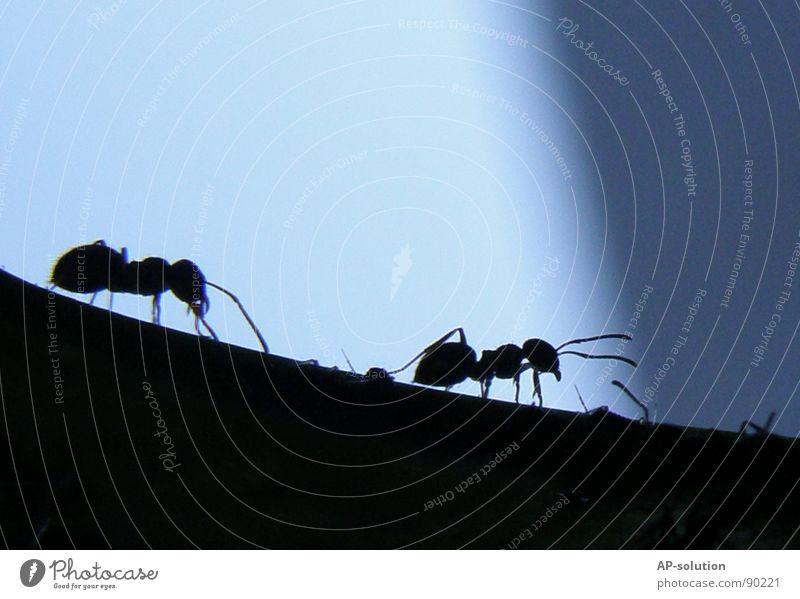 Ameisen Natur blau Tier schwarz klein 2 Arbeit & Erwerbstätigkeit Ast Insekt Shorts krabbeln Arbeiter fleißig Ameise Schädlinge winzig