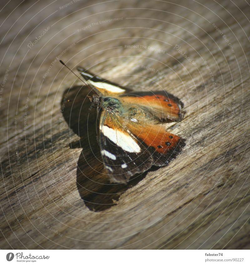 Beauty on Wood Schmetterling Holz Tier filigran Makroaufnahme Nahaufnahme Flügel