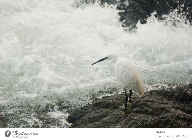 Ruhe vor dem Chaos grün weiß Wasser Tier schwarz Stein Vogel Felsen Wellen Wildtier warten beobachten Italien Fluss Flussufer Jagd