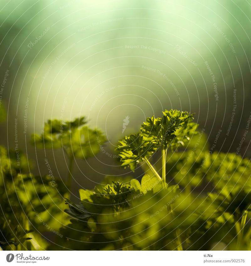 Peter Silie Kräuter & Gewürze Petersilie Slowfood Italienische Küche Wachstum frisch Gesundheit grün Leben Außenaufnahme Menschenleer Textfreiraum oben