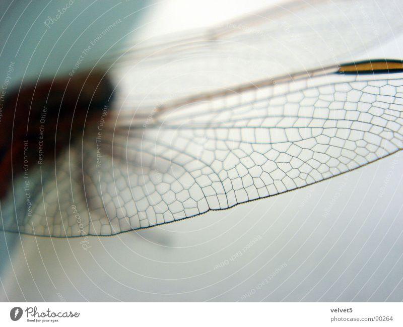 Manfred von Richthofen gelb Makroaufnahme Nahaufnahme dragonfly Blue Adjektive wings Phylum Arthropoda insect Libellulidae
