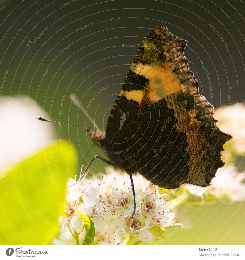 Abschied Umwelt Natur Pflanze Tier Luft Sommer Herbst Schönes Wetter Blatt Blüte Wildpflanze Garten Park Wiese Wald Schmetterling 1 Duft fliegen sitzen