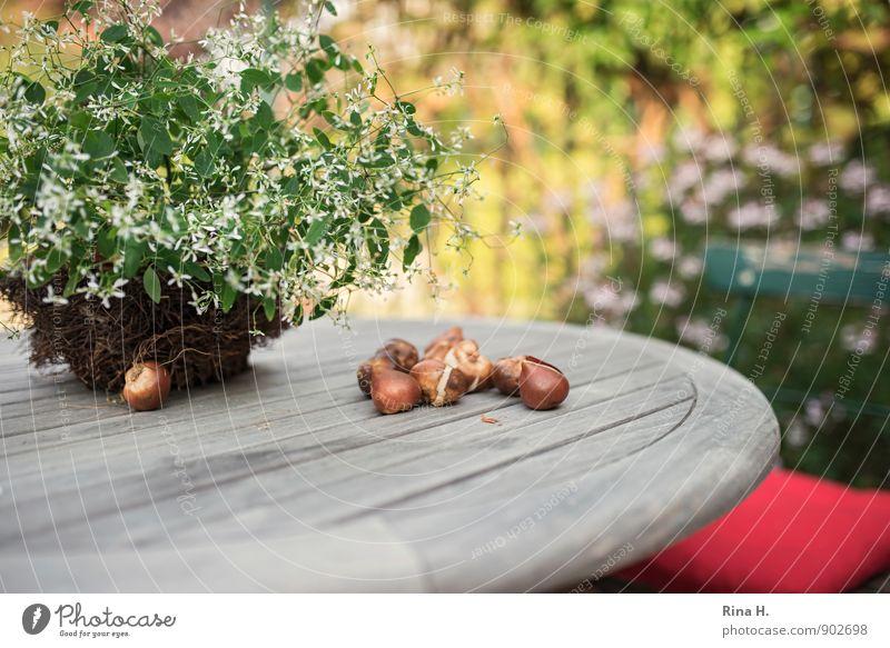 PflanzZeit [TulpenZwiebeln II] Herbst Schönes Wetter Pflanze Blume Topfpflanze Garten Blühend Zufriedenheit Lebensfreude Stillleben Holztisch Gartentisch