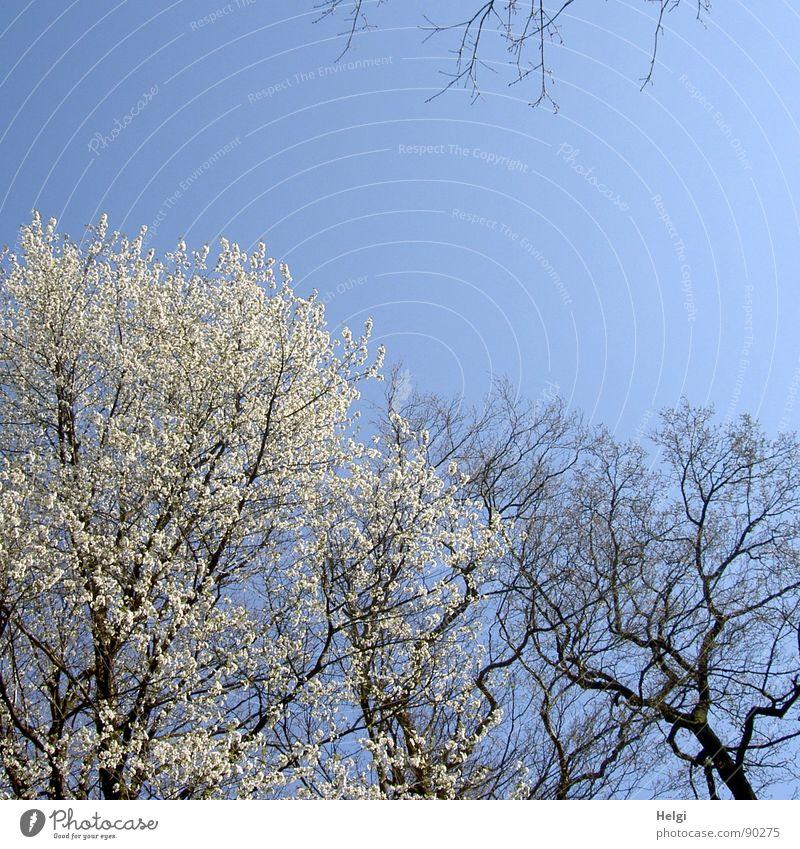 Frühblüher... Natur Himmel weiß Baum Blume blau Pflanze Blüte Frühling Landschaft braun Wetter hoch Spaziergang Klarheit Ast