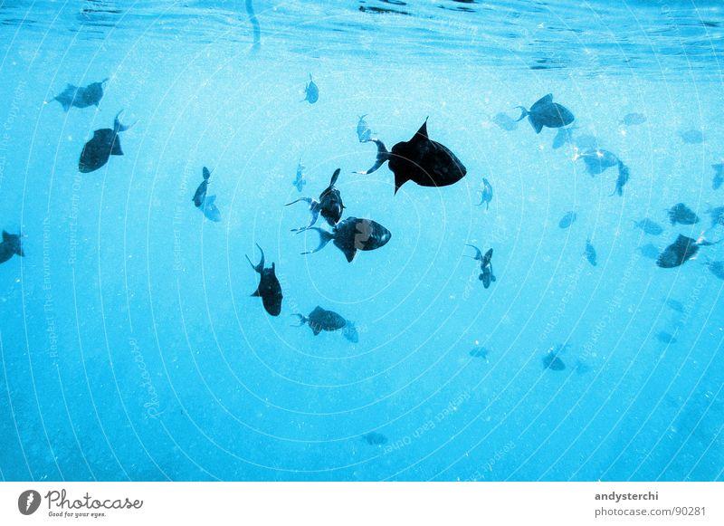 Triggerfishes Meer Sonnenstrahlen Rudel Tier Malediven Wasser Fischschwarm Drückerfische tauchen Schnorcheln Findet Nemo nass Meerwasser Reflexion & Spiegelung