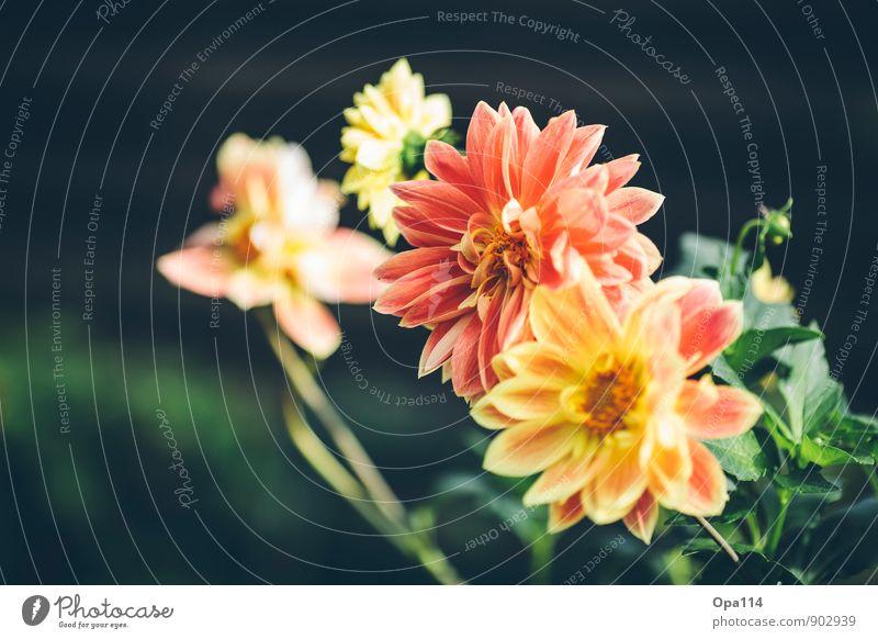 Flower Power Umwelt Natur Pflanze Tier Sommer Herbst Schönes Wetter Blatt Blüte Grünpflanze Nutzpflanze Garten Park Blühend Wachstum gelb gold grün orange