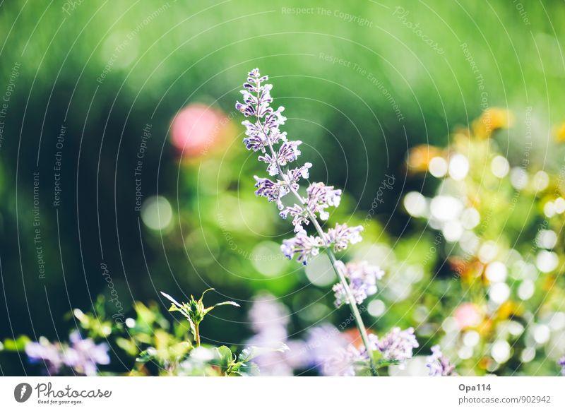 Poppy Colors Umwelt Natur Pflanze Tier Sonne Sommer Wetter Schönes Wetter Blume Sträucher Blatt Blüte Grünpflanze Nutzpflanze Garten Park Blühend leuchten gelb