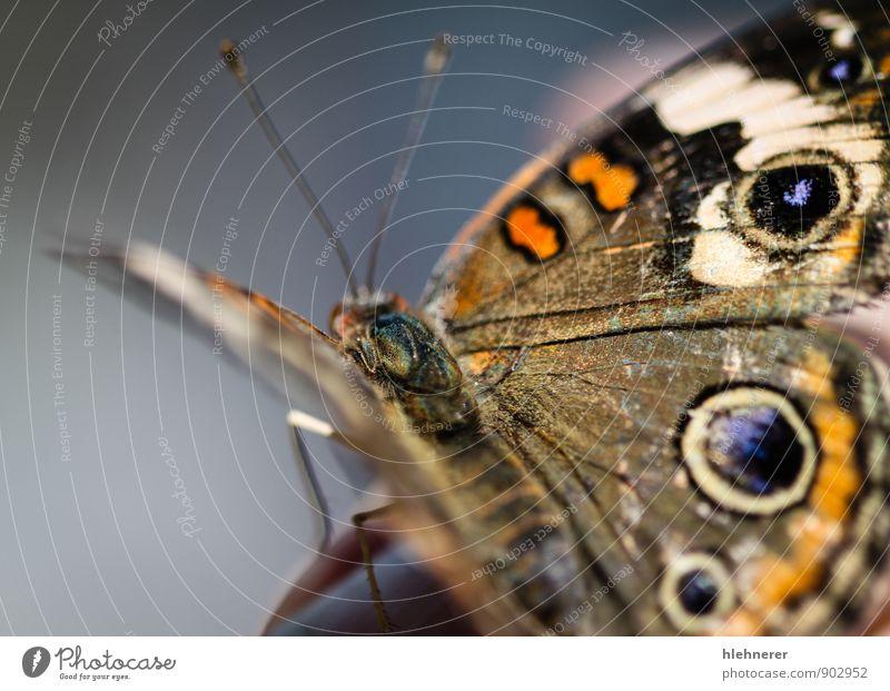 Natur blau schön Farbe weiß Sommer Tier schwarz Umwelt gelb natürlich braun Flügel Tiefenschärfe Insekt Schmetterling
