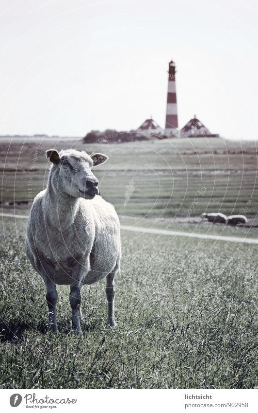 Leuchtturmwärter Himmel Natur Ferien & Urlaub & Reisen Landschaft Tier Ferne Wiese Küste Horizont Idylle Turm Körperhaltung Wahrzeichen Haustier Nordsee