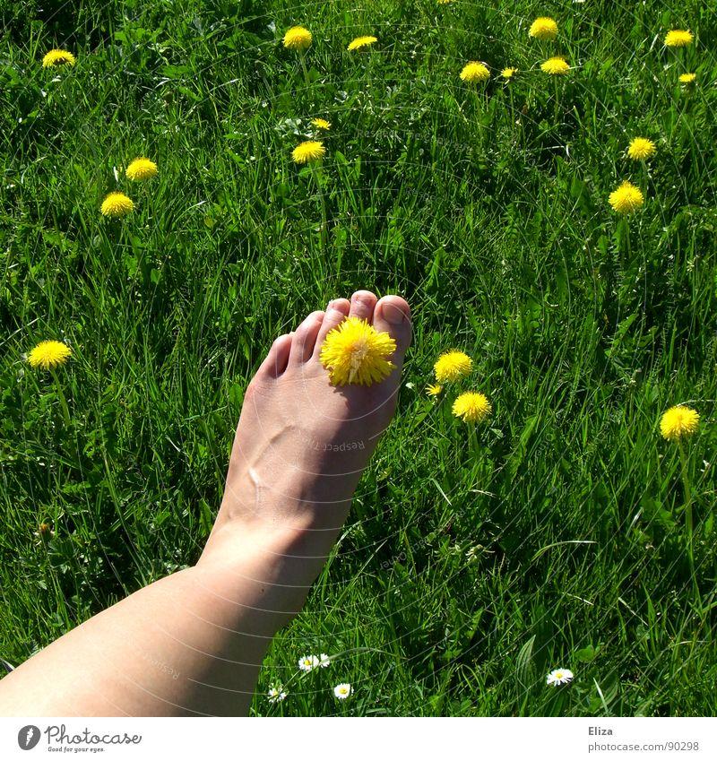 Nackter Fuß mit Löwenzahnblüte im Grünen Gras Erholung Duft Spielen Sommer Sonnenbad Beine Natur Pflanze Frühling Wärme Blume Blüte Wiese genießen frisch gelb
