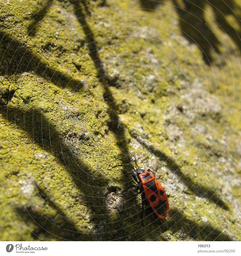GEHEIMER SCHATTENPFAD Wanze Feuerwanze Sechsfüßer Insekt Halbflügler krabbeln Tier Natur gelb Suche finden Lebenslauf organisch Fühler Gefühle Mensch Wand groß