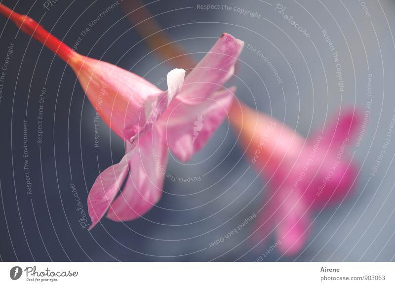 bevor das Barometer fällt... Pflanze Sommer Schönes Wetter Blume Blüte Garten Park Blühend ästhetisch Duft hell maritim blau rosa zart hell-blau blassblau