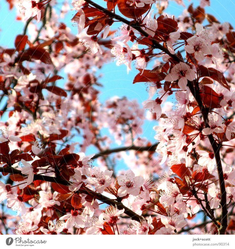Kirschblütenfront (sakura zensen) Natur blau schön Wärme Blüte Frühling natürlich Zeit rosa Luft Wachstum Perspektive Beginn Blühend Vergänglichkeit Kultur