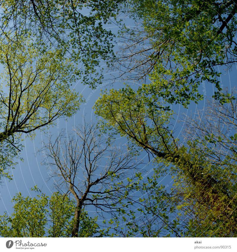 Himmel auf Erden 12 Nadelbaum Wald himmelblau Geometrie Laubbaum Perspektive Nadelwald Laubwald Waldwiese Paradies Waldlichtung ruhig grün Pflanze Baum Wachstum