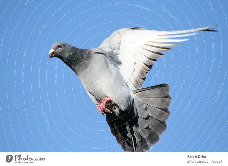Landeanflug Leben Freiheit Himmel Vogel Taube fliegen frei oben Sauberkeit Geschwindigkeit blau grau friedlich Verlässlichkeit Frieden Kontakt rein Brieftaube