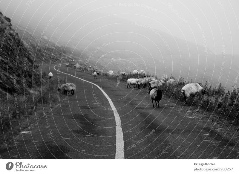 Folge der Linie... Natur Tier Klima schlechtes Wetter Nebel Berge u. Gebirge Verkehr Autofahren Straße Schaf Tiergruppe Herde Einsamkeit entdecken erleben