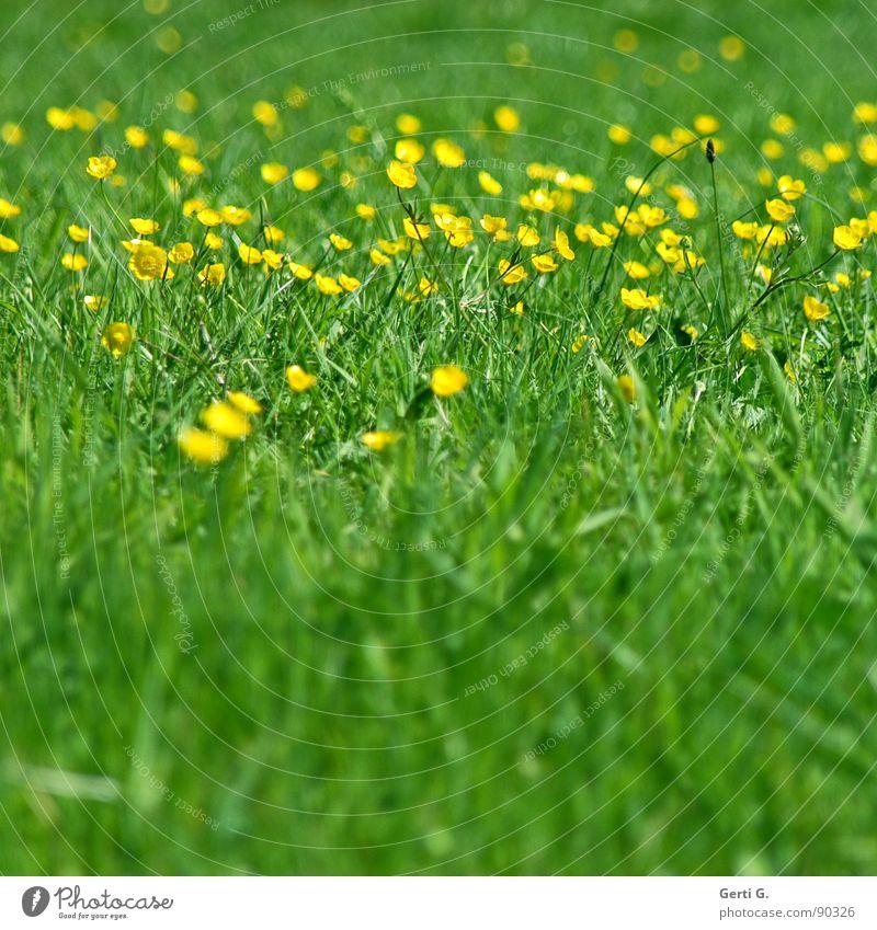 alles in Butter Wiese Gras Grünfläche grün gelb quietschgelb Blume Blüte grün-gelb Halm Frühling Sommer sommerlich mehrfarbig frisch Fröhlichkeit Kräuterwiese