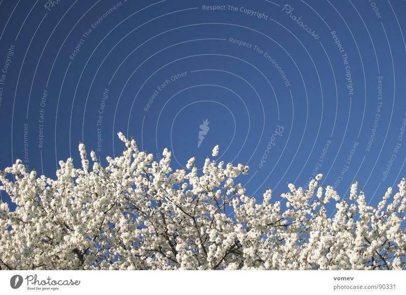 Kirschblüte Kirschblüten Kirsche Blüte Baum weiß Frühling Himmel blau Kirschbaum Farbe