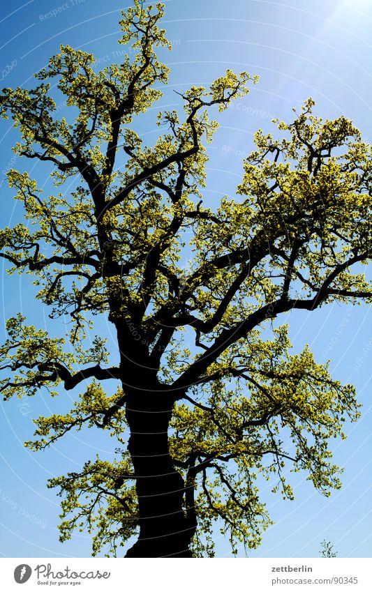 Baumwollzone {f} = cotton belt Himmel blau Frühling Wachstum mehrere Ast viele Baumstamm Zweig Blütenknospen himmelblau Frühlingsgefühle fruchtbar Reifezeit