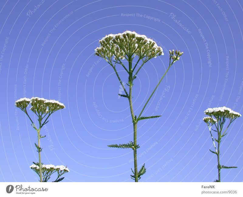 Schafgarbe Pflanze Blüte Blume Himmel blau