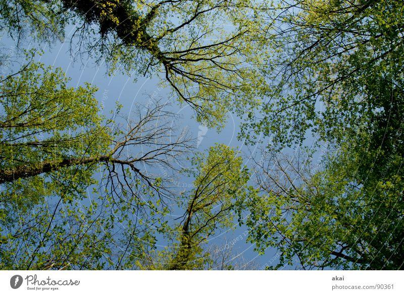 Himmel auf Erden 13 Nadelbaum Wald himmelblau Geometrie Laubbaum Perspektive Nadelwald Laubwald Waldwiese Paradies Waldlichtung ruhig grün Pflanze Baum Wachstum