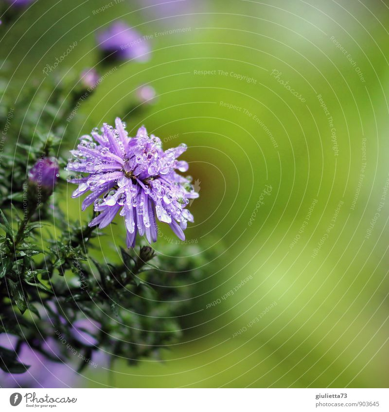 Nach dem Regen Natur Pflanze Wassertropfen Sommer Herbst Klima Wetter Blüte Garten Park Erholung Reinigen träumen natürlich schön grün violett Optimismus