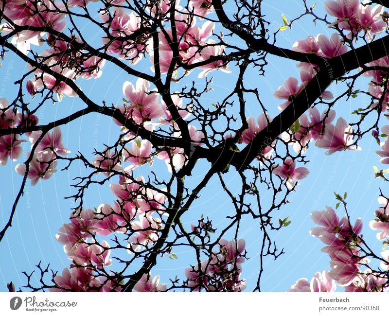 Wie überall im April Garten Natur Pflanze Luft Himmel Frühling Schönes Wetter Baum Blüte Park Blühend springen Wachstum blau rosa Farbe Magnoliengewächse