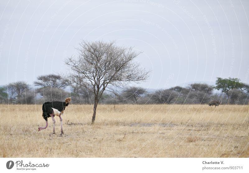 Getrennte Wege Natur Tier Wolkenloser Himmel Sommer Schönes Wetter Baum Gras Nationalpark Tarangire Nationalpark Afrikanisch Wildtier Strauß Hahn 2 Tierpaar