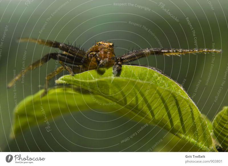 Krabbenspinne Tier Wildtier Spinne Jagd warten bedrohlich Erfolg nah braun grün Zeit Farbfoto Nahaufnahme Makroaufnahme Hintergrund neutral Tag