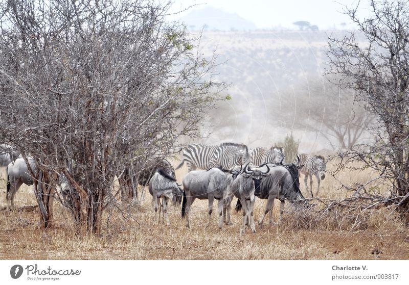 Staub aufwirbeln Natur Tier Sommer Baum Wildpflanze Nationalpark Tarangire Nationalpark Afrika Steppe Wildtier Gnu Zebra Tiergruppe Herde Fressen gehen Blick