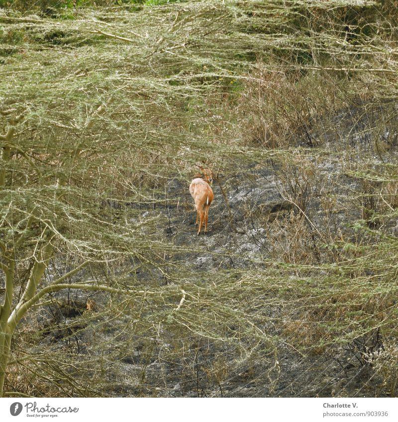 Scheu Natur Pflanze grün Sommer ruhig Tier Ferne braun Wildtier leuchten Sträucher frei stehen warten ästhetisch beobachten