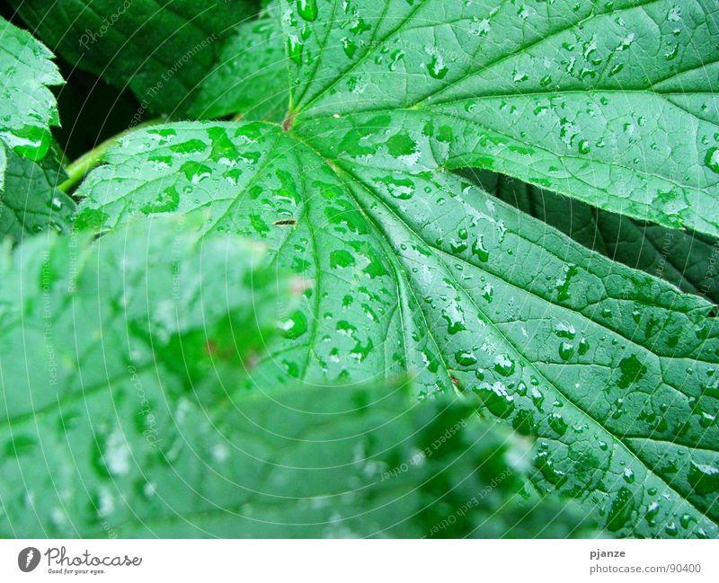 After the rain... Regen grün Pflanze Blatt Gefäße Blattadern saftig Garten Park Wasser Wein Wassertropfen