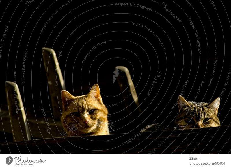 auf der lauer Tier Liebe dunkel Holz Katze hell 2 blond Tierpaar glänzend paarweise süß Dach niedlich beobachten Fell
