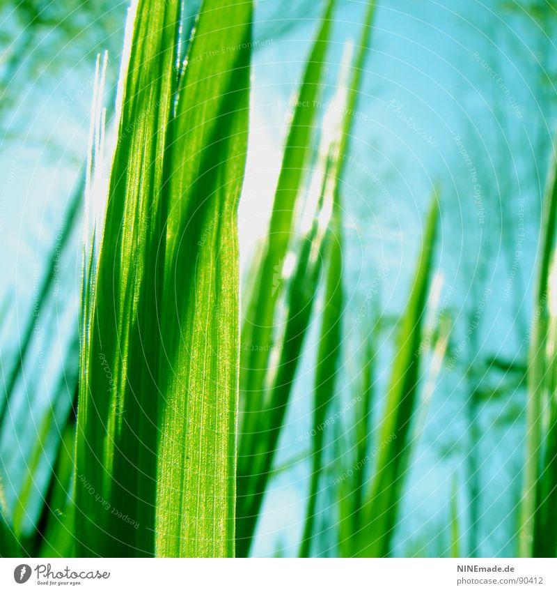 angestrahlt ... grün grasgrün himmelblau Gras Halm Sommer Frühling Gute Laune Fröhlichkeit frisch saftig Zufriedenheit Freizeit & Hobby Schönes Wetter
