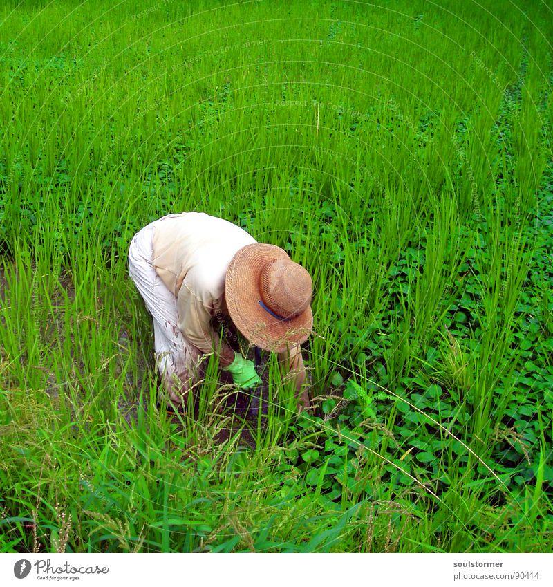 still some work to do grün Reisbauer Japan Ernährung Lebensmittel Reisfeld Feld Arbeit & Erwerbstätigkeit Sommer Ferien & Urlaub & Reisen Gras weiß Mann