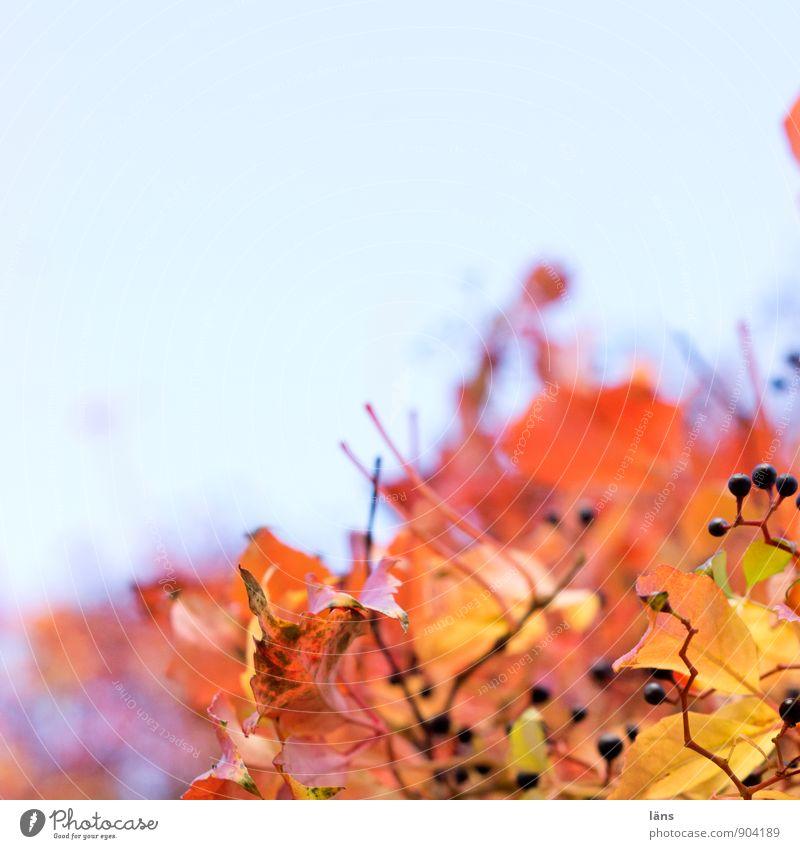 tendenz... Pflanze Himmel Wolkenloser Himmel Herbst Schönes Wetter Blatt Grünpflanze Wilder Wein hängen leuchten hell Wärme Leichtigkeit Vergänglichkeit