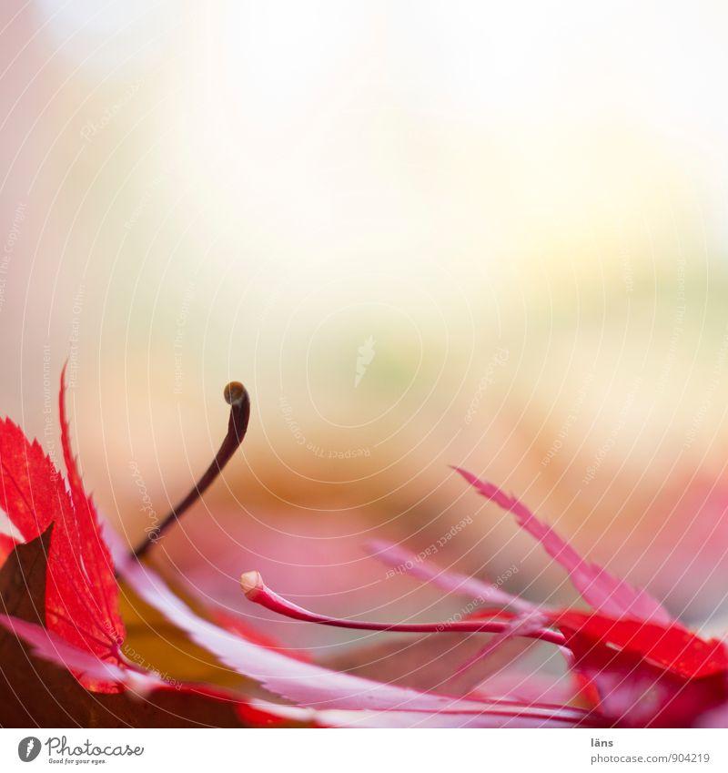 gefallene Engel Umwelt Natur Erde Herbst Blatt Japanischer Ahorn liegen rot Vergänglichkeit Wandel & Veränderung Färbung Blick nach oben mehrfarbig Menschenleer
