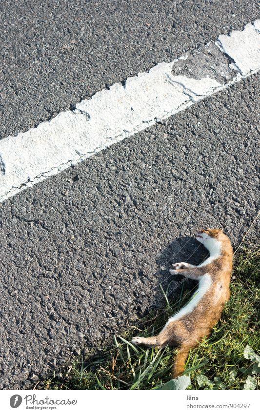 ausgewieselt Gras Verkehr Verkehrswege Straßenverkehr Wege & Pfade Fahrbahnmarkierung Tier Wildtier Totes Tier Hermelin Wiesel 1 Linie Streifen liegen Mitgefühl