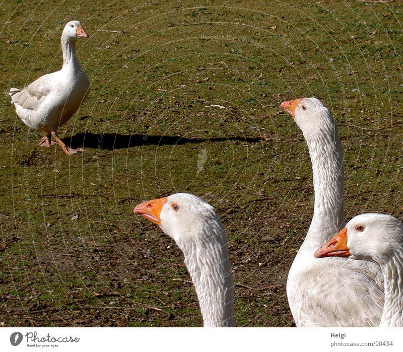 Oh.... Besuch.....!! weiß grün Auge Wiese Frühling Gras Vogel Feste & Feiern braun orange laufen stehen Feder Kochen & Garen & Backen 4 Bauernhof