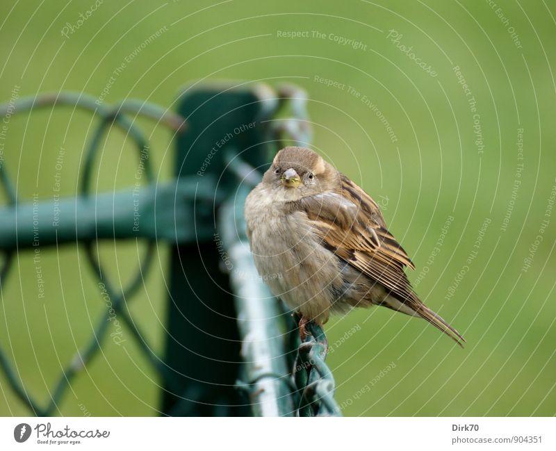 Spatz von Paris Winter Gras Park Champs de Mars Tier Wildtier Vogel Haussperling Sperlingsvögel 1 Tierjunges Zaun Drahtzaun Maschendrahtzaun frieren hocken
