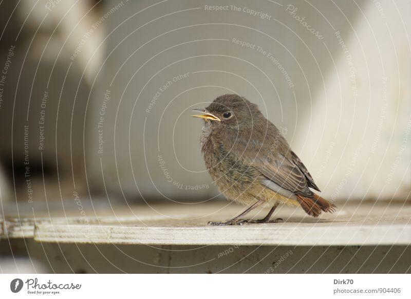 Liebhaber des Halbschattens weiß Sommer Tier Tierjunges Wand sprechen Mauer grau Holz klein braun Vogel Angst Wildtier niedlich Schönes Wetter