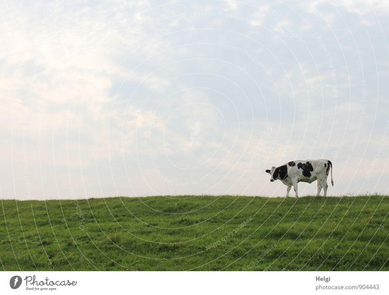 Deichkuh... Ostfriesland Umwelt Natur Landschaft Pflanze Tier Himmel Sommer Schönes Wetter Gras Grünpflanze Nutztier Kuh 1 Blick stehen warten authentisch