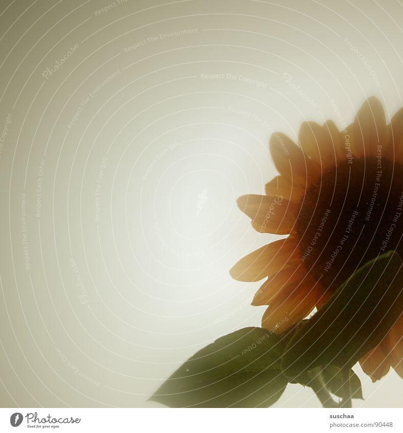 sommerblume .. Himmel Sommer Traurigkeit durchsichtig Sonnenblume Blütenblatt fade