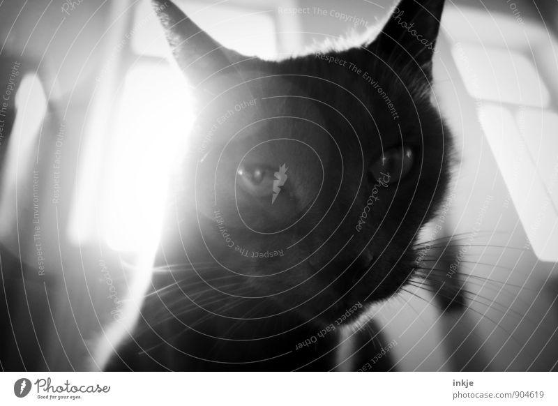 Haustier Tier Katze Tiergesicht Hauskatze 1 Blick Coolness Neugier Interesse Schwarzweißfoto Innenaufnahme Nahaufnahme Makroaufnahme Tag Licht Schatten Kontrast